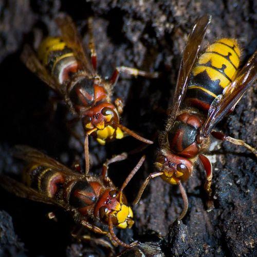 hornets macro wildlife