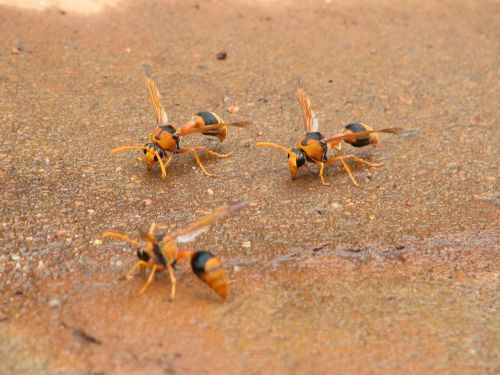 hornets insects wasps