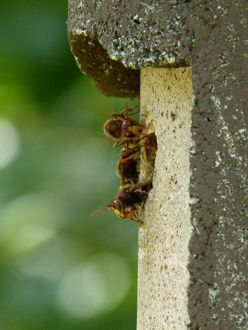 hornets vespa crabro animal