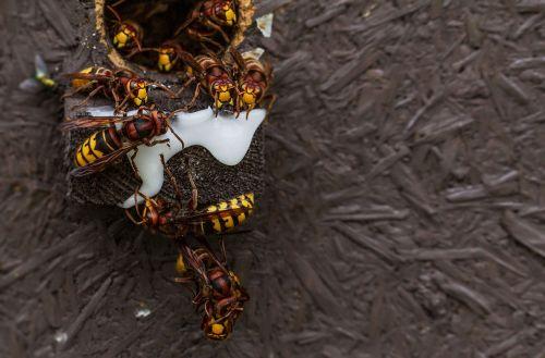 hornets queens einflugloch