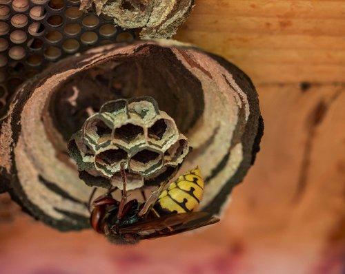 hornets  hornet  insect