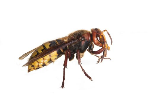 hornets  hornets queen  insect