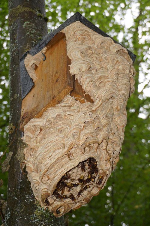 hornissennest hornet insect