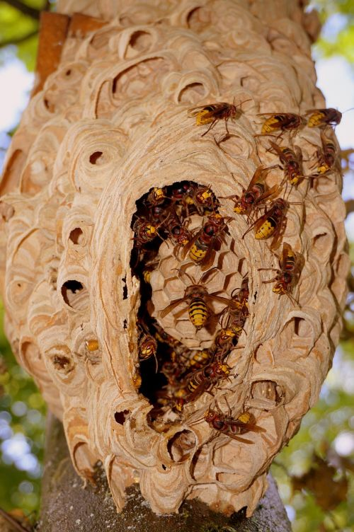 hornissennest hornet einflugloch