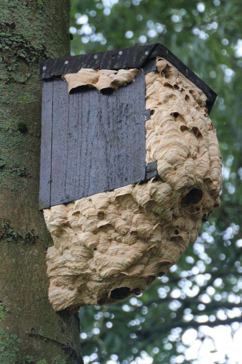 hornissennest insect nest