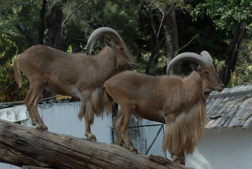 horns animal zoo