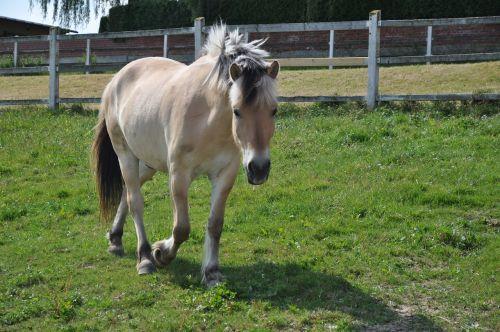 arklys,žingsnis,fjordas arklys,norvegų,norvegų fjordas arklys,ant pievos,kalnas,pieva,ponis,kankinti