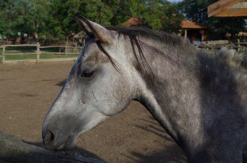 horse gray animal