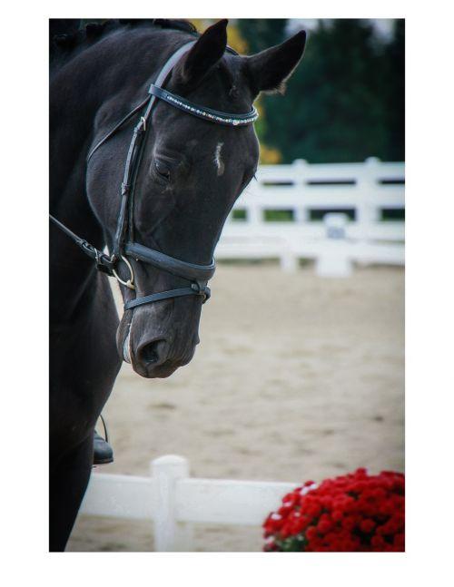 horse head equine