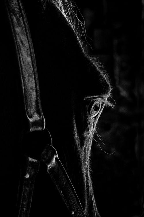 œil eyes horse