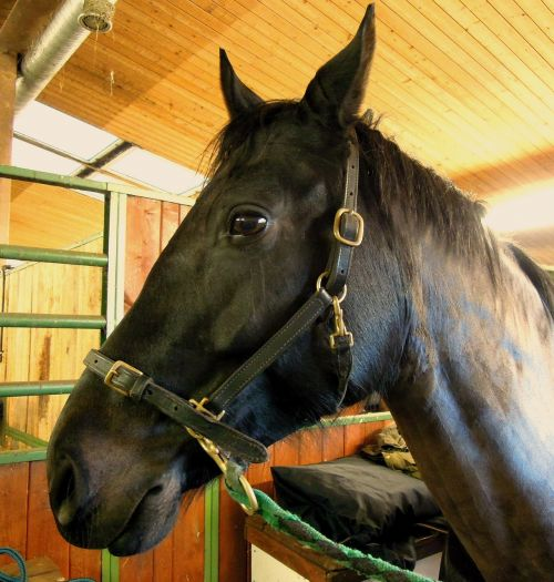 horse animal finnish