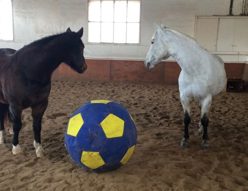 horse ball playing