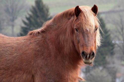 horse livestock brown