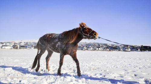 horse race horse mongolian