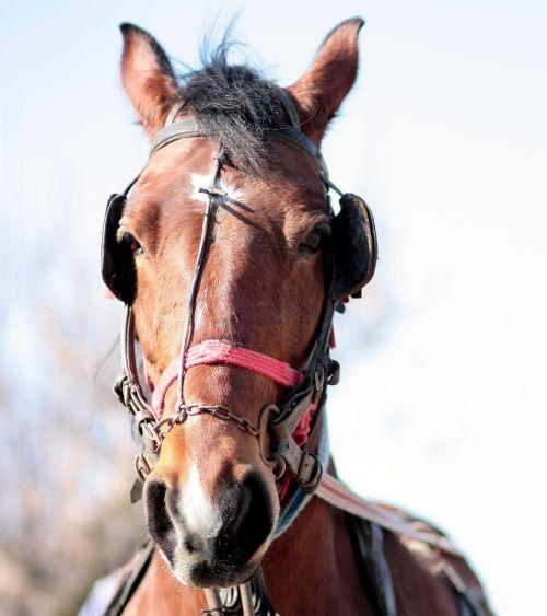 horse brown pet