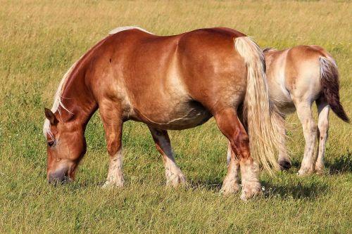 horse kaltblut brown