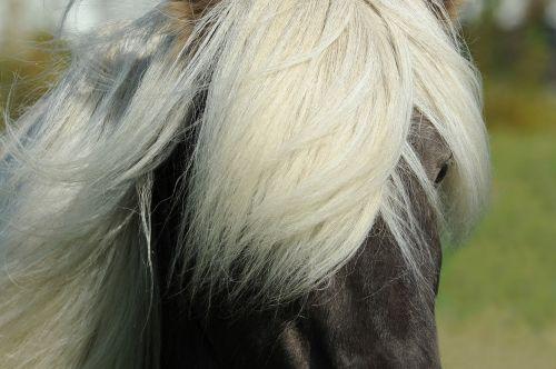 arklys,Islandijos arklys,islandų salos,Žiurkė,iceland pony,maži arkliukai,grynas,jodinėjimas