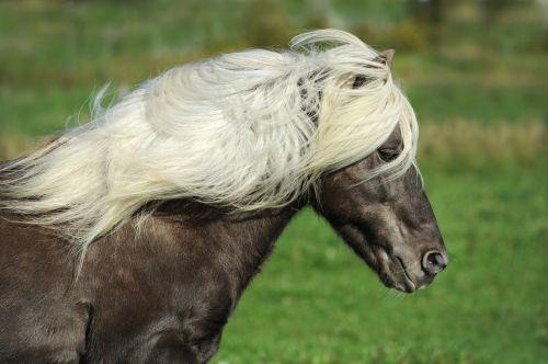 arklys,Islandijos arklys,ponis,iceland pony,Žiurkė,gamta,islandų salos