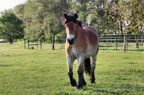 horse kaltblut mare