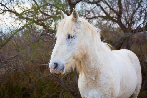 horse camargue white