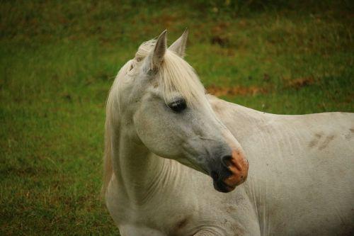 horse mold thoroughbred arabian