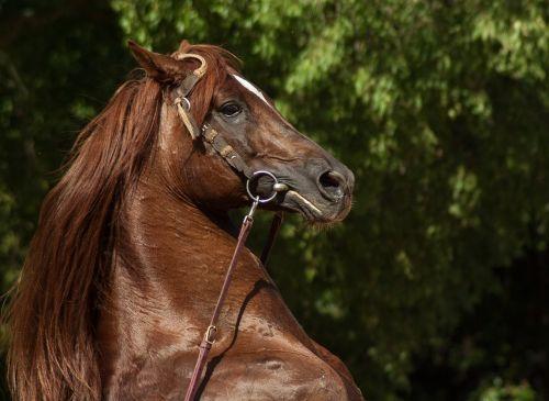 horse cabrer horse show
