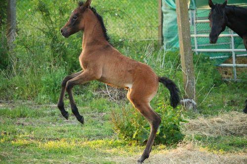 horse foal suckling