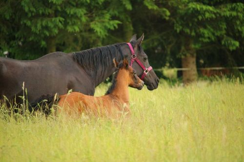 horse foal mare with foal