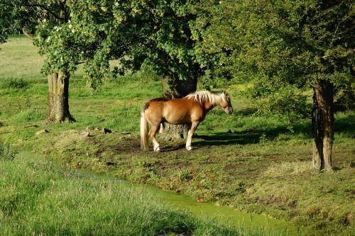 horse haflinger breed