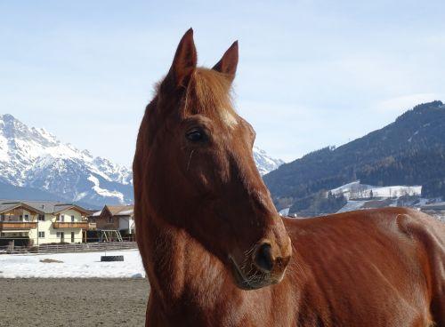 horse fuchs snow