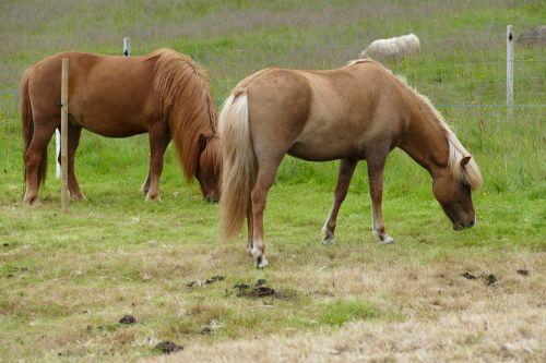 horse iceland iceland horse