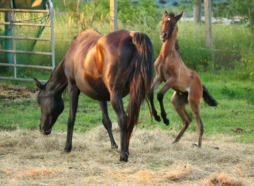 horse foal thoroughbred arabian