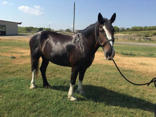 horse clydesdale equestrian