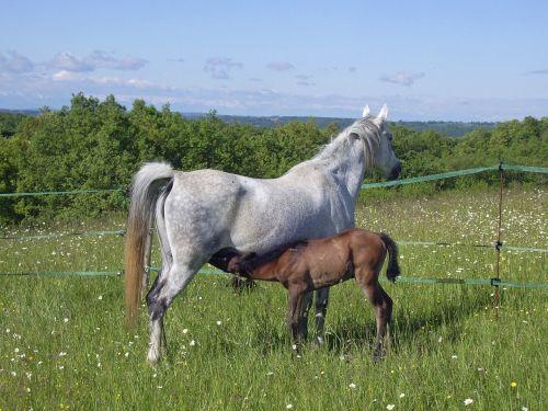 horse foal broodmare