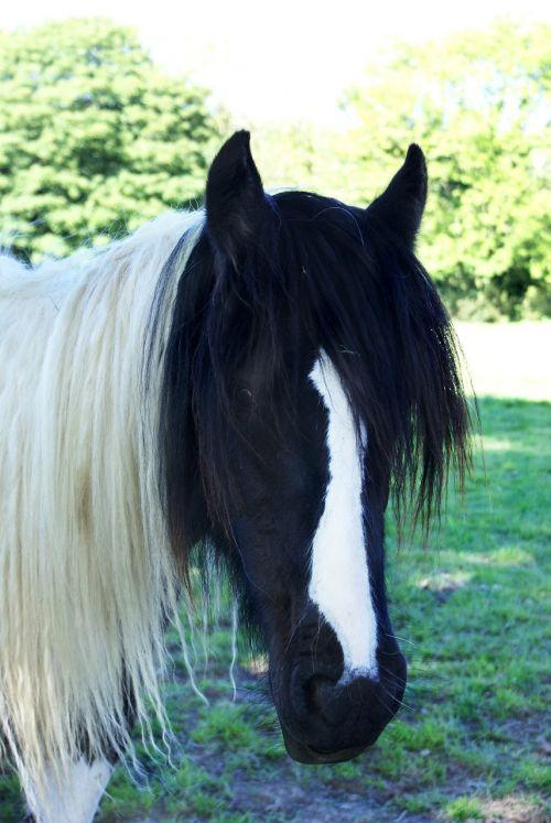 horse cob piebald