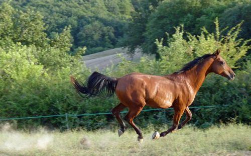 horse pure arab blood horse breeding