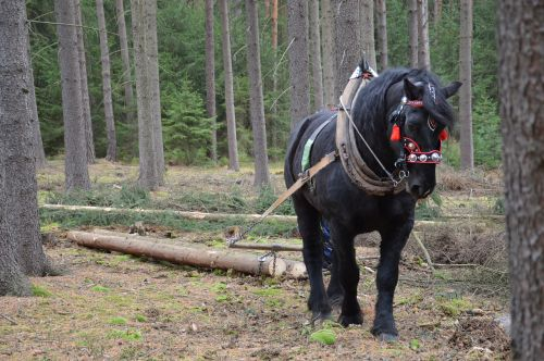 horse pulling forestry