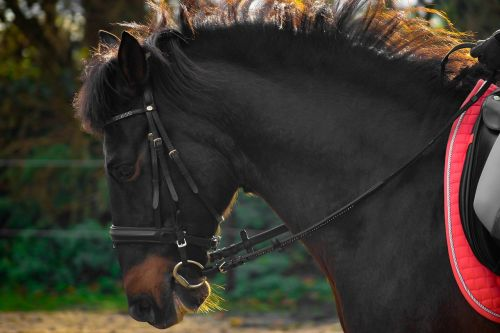 horse andalusians spanish