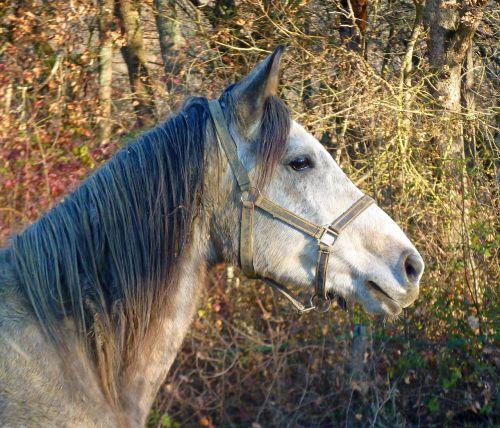 arklys,grynas arabų kraujas,arkliai,veisliniai arkliai,galva,arkliai,arabiškas,apleisti,atrodo