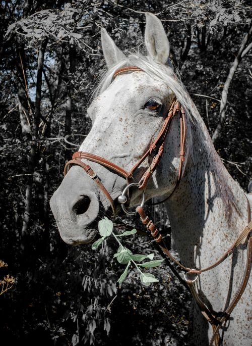 horse arabian horse racehorse
