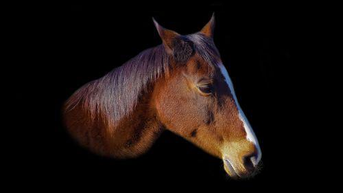 horse horse head eye