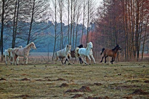 horse flock gallop