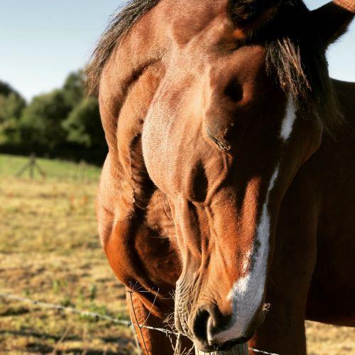 horse pre standard