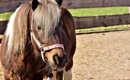 horse animal pony