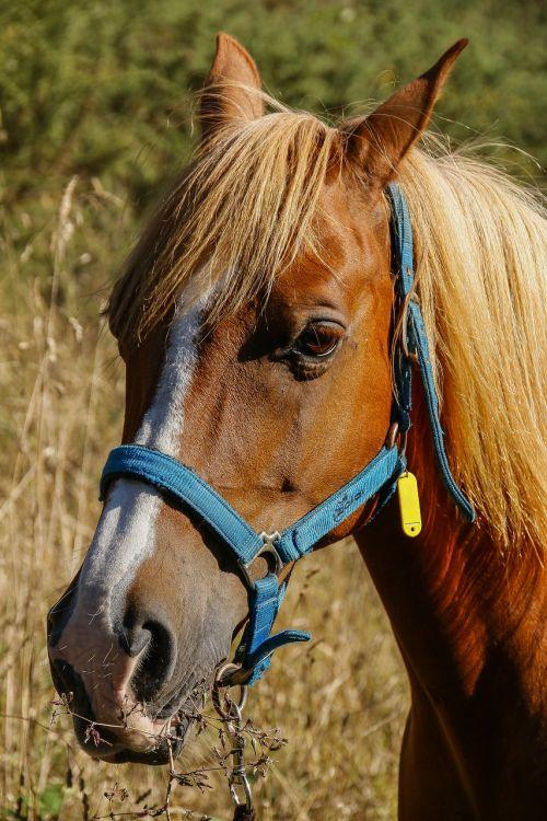 horse spanish arabic