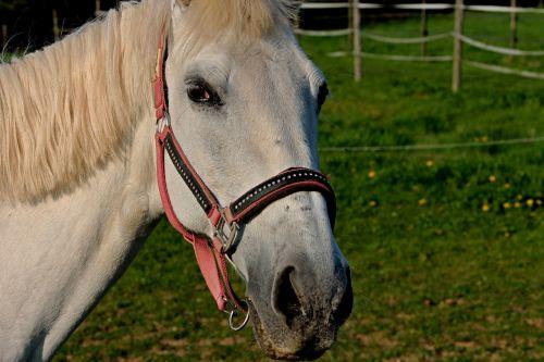 horse halter coupling