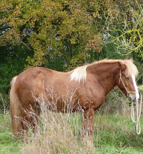 horse iceland horse iceland pony