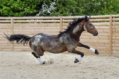 horse gallop run