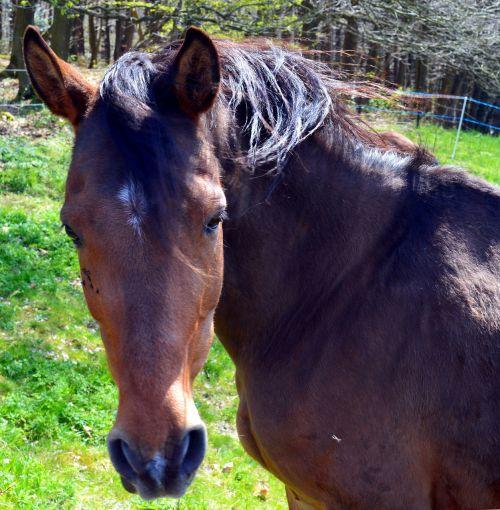 horse,equus caballus,ungulate,mane,graceful,nature,creature,animal world,horse head,beauty,fur,animal,dark brown,hoof,ride,pasture,pet