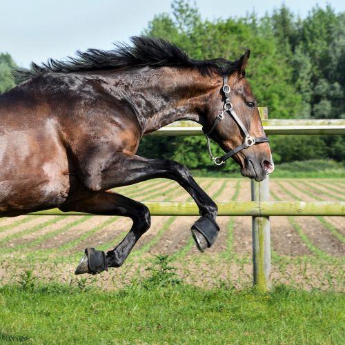 horse bai gallop